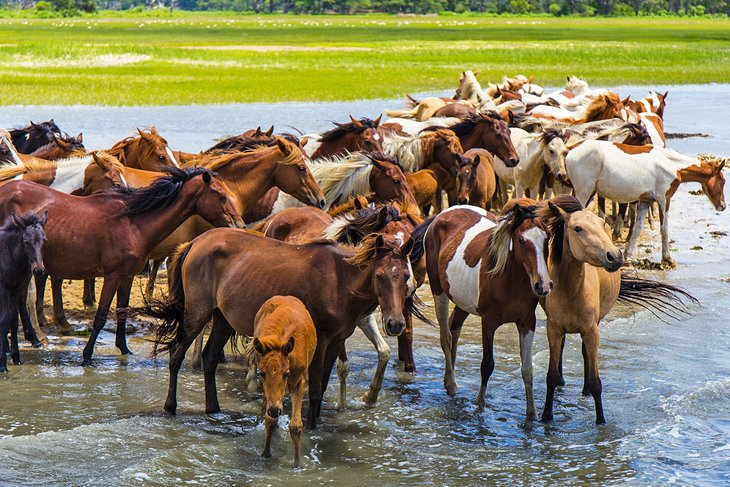 A herd of wild ponies on Chincoteague Island