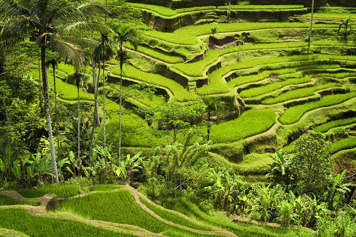 Rice terraces near Tegalalang village