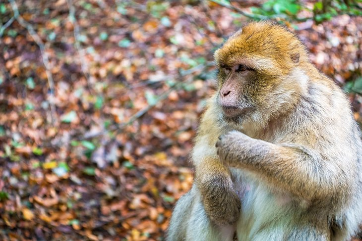 Japanese macaque at Monkey Mountain