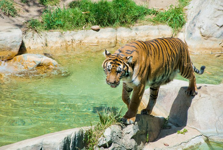 A Bengal tiger at the Los Angeles Zoo