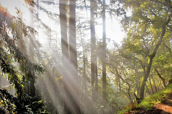 Sunlight streaming through redwood trees in Redwood Regional Park