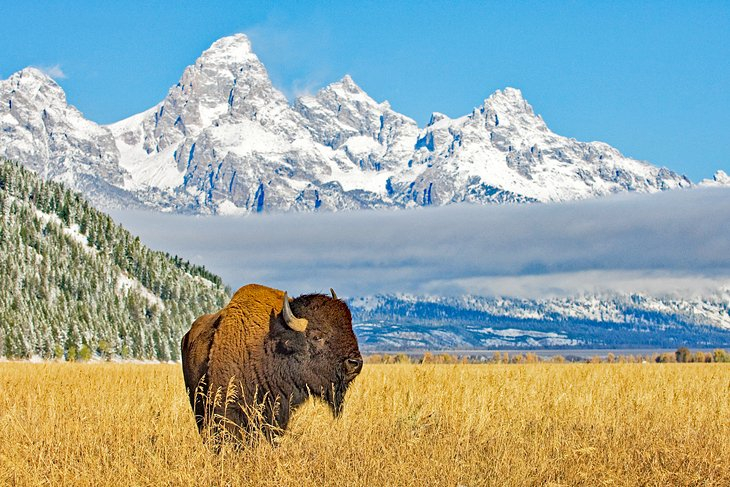 A bison in front of the Grand Tetons