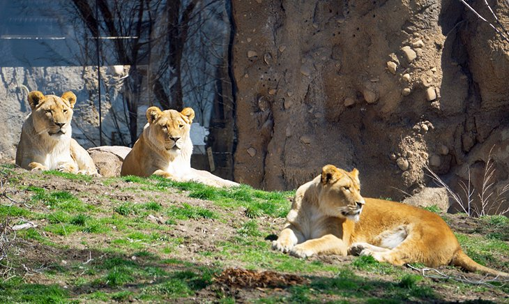 Lions at Hogle Zoo