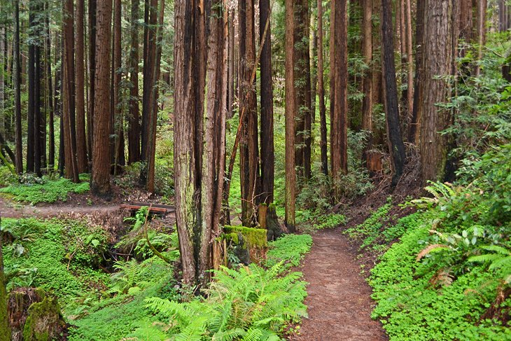 Camping a Redwood Grove Trail