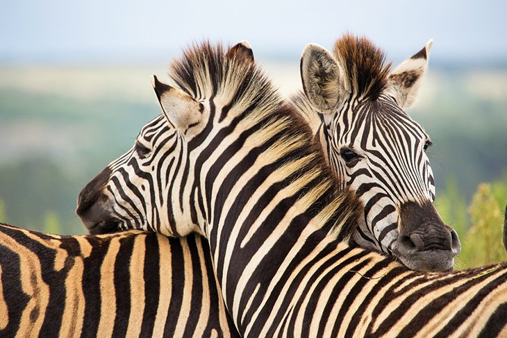 Zebras at the Gondwana Private Game Reserve