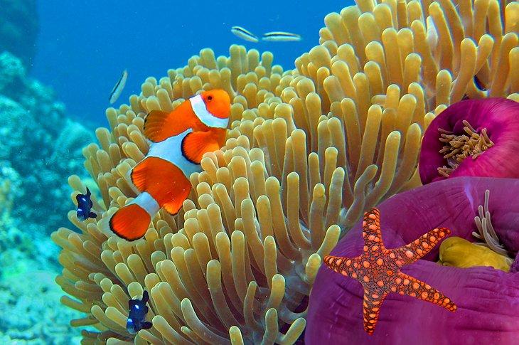 Анемона и рыба-клоун у Ко Тао.