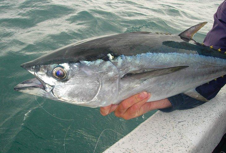 Atún de cola larga capturado en Weipa, Cabo York