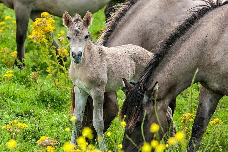 Konik horses in Oostvaardersplassen