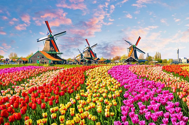 Tulips and windmills in Zaanse Schans