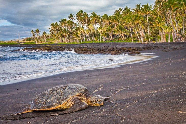 Tortuga marina descansando en la playa de Punalu'u