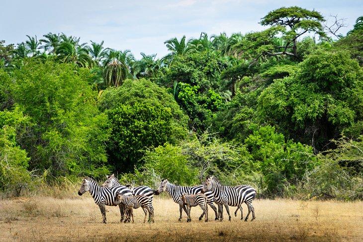 Zebras at Akagera National Park