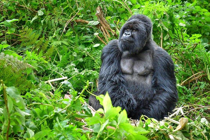 A mountain gorilla at Volcanoes National Park