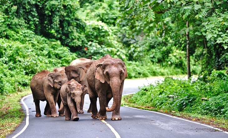 Дикие слоны на дороге в Као Яй.