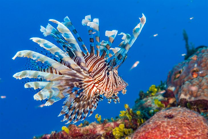 Common lionfish swimming on a coral reef in the Abacos