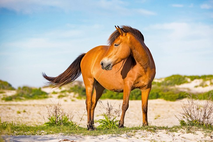 A wild horse on Assateague Island