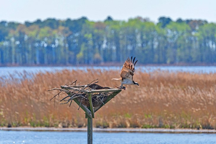 An osprey leaving the nest in Blackwater National Wildlife Refuge