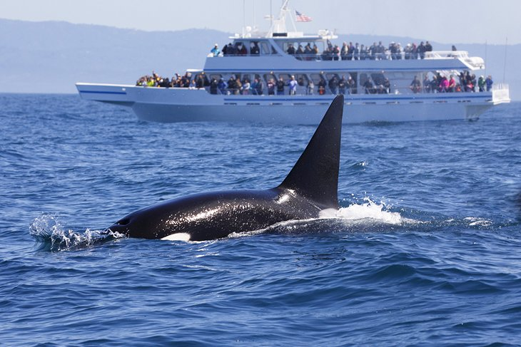View of an orca on a whale watching trip