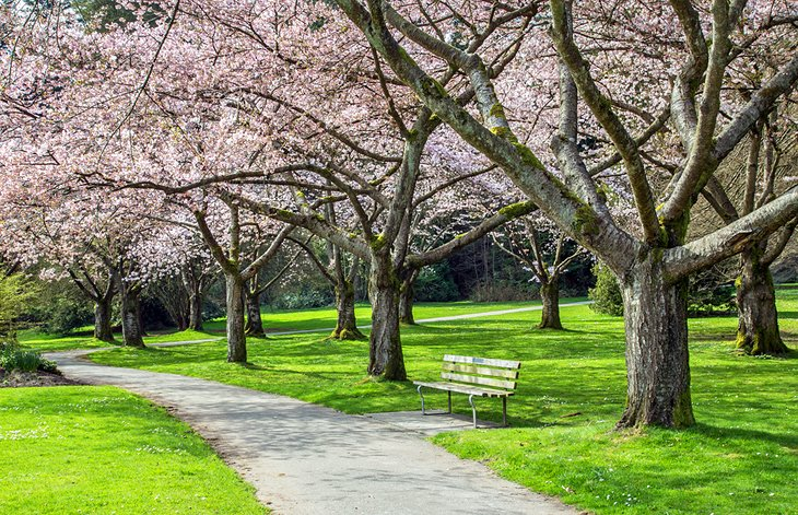 Cherry blossoms in Stanley Park, Vancouver