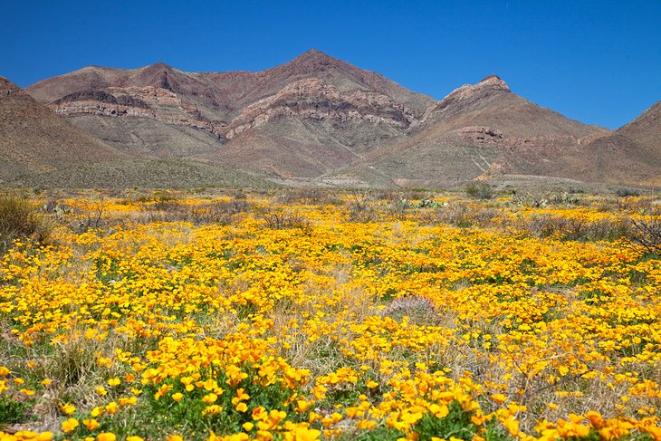 Wildflowers at the base of the Franklin Mountains