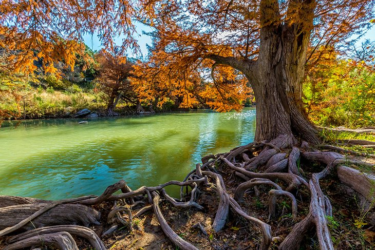 Cypress trees at Guadalupe River State Park