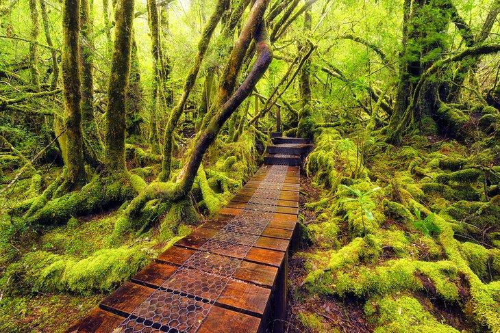 The Overland Track a través del bosque cubierto de musgo en el Parque Nacional Cradle Mountain-Lake St. Clair