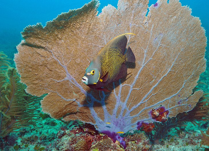 French angel fish in Bonaire