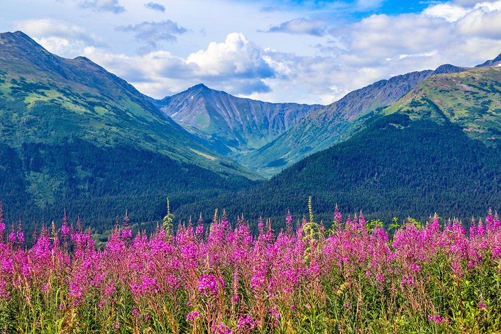 Fireweed in Anchorage