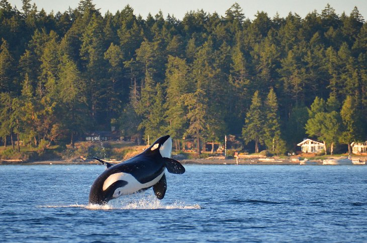 Прорыв китов-убийц на островах Сан-Хуан.