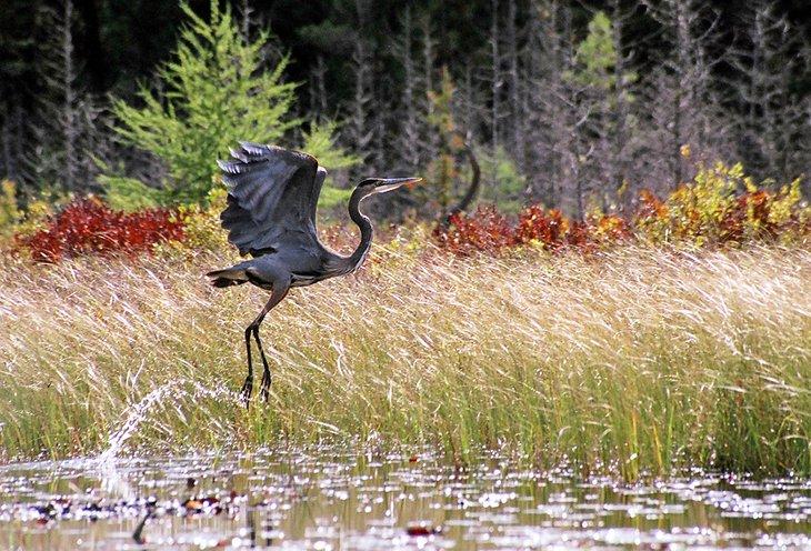 Garza en el Parque Provincial Algonquin