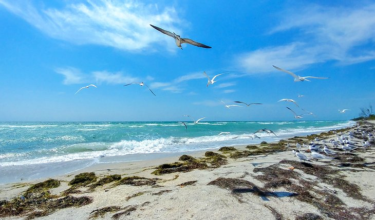 Gaviotas sobrevolando la playa de Fort de Soto