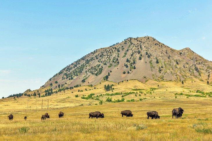 Buffalo en el parque estatal Bear Butte