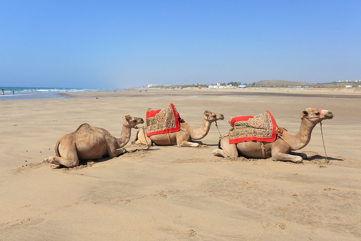 Camels on the beach in Asilah, Morocco