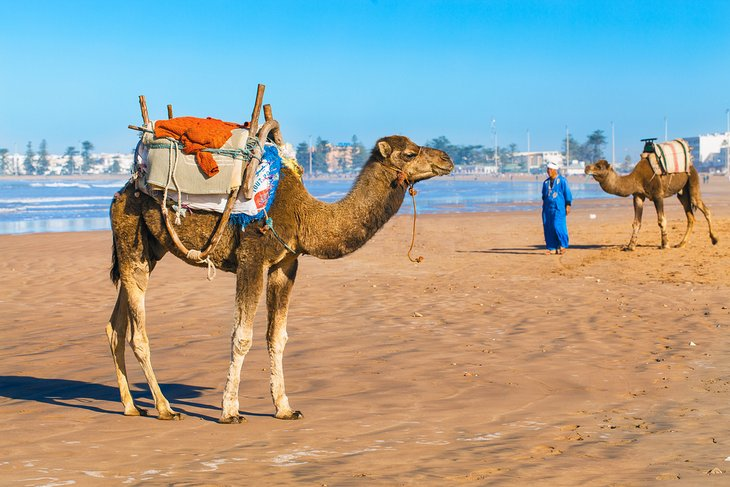 Camels on Essaouira Beach