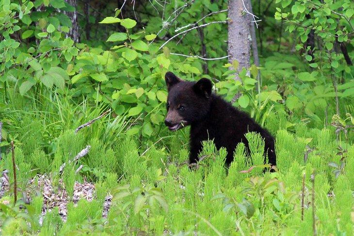 Cachorro de oso en el Parque Provincial Whiteshell