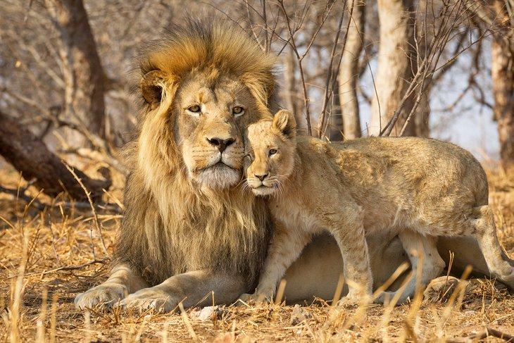 León macho y cachorro en el Parque Nacional Kruger