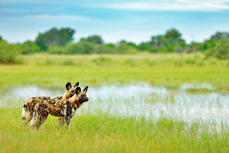 Perros salvajes en la reserva de caza de Moremi