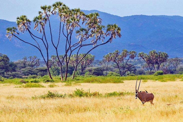 Beisa oryx en la Reserva Nacional de Samburu