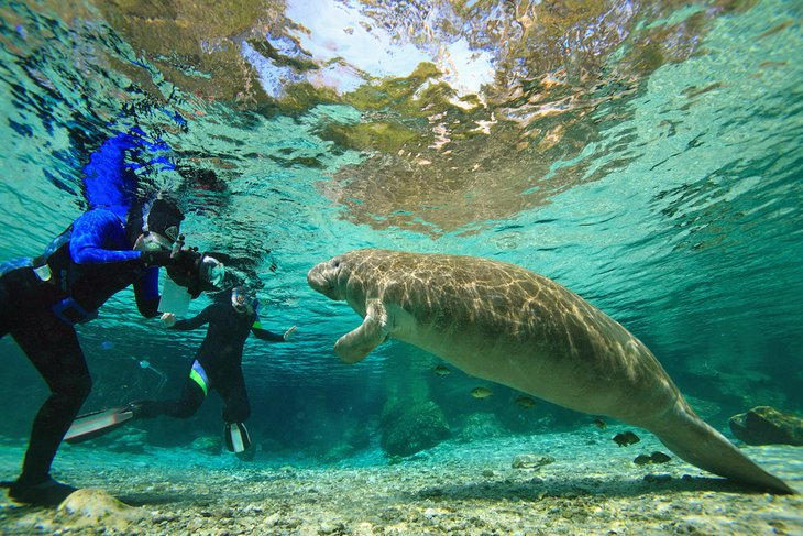 Buceadores fotografiando un manatí en Three Sisters Springs