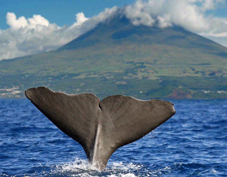 Sperm whale tail in front of Pico volcano, Azores Islands