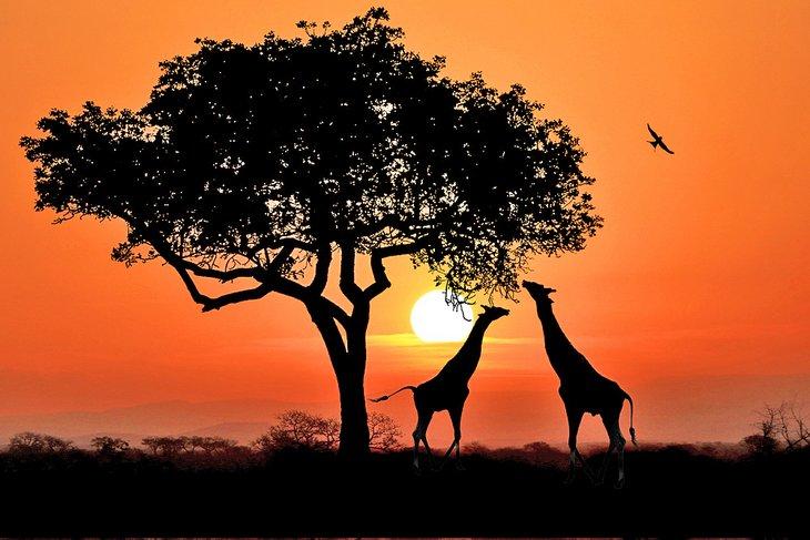 Giraffes in Kruger National Park at sunset