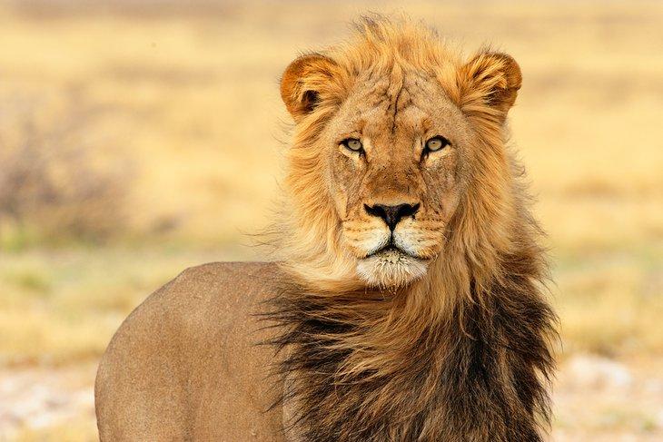 Black-maned lion in the Kgalagadi (Kalahari) Transfrontier Park, Northern Cape