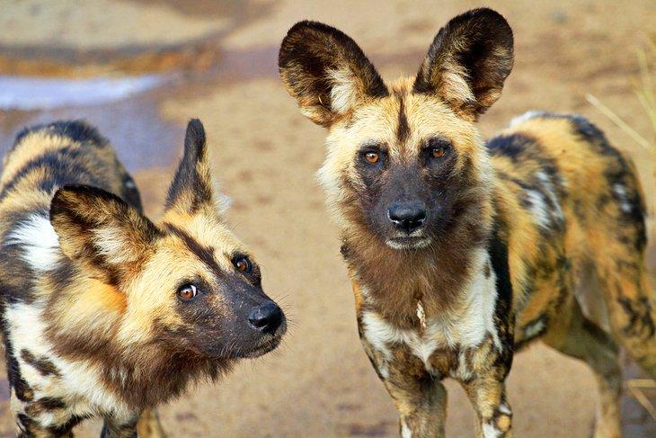 African wild dogs, Pilanesberg National Park
