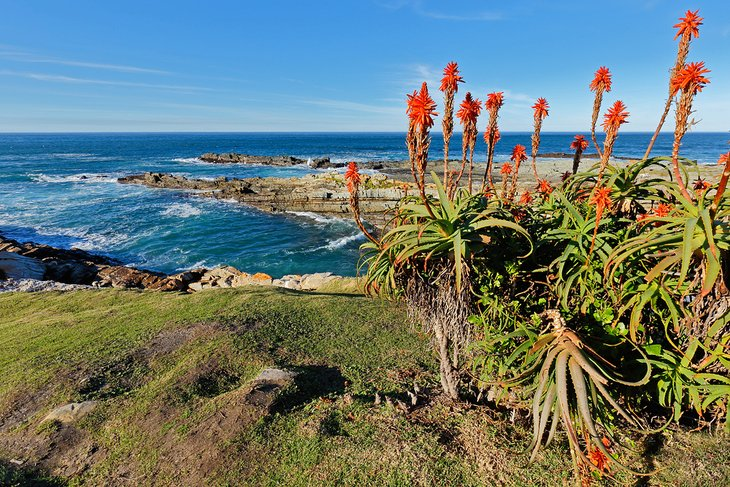 Aloes blooming at the Garden Route National Park