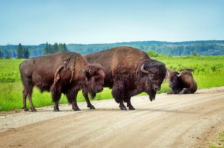 Bison en el Parque Nacional Riding Mountain