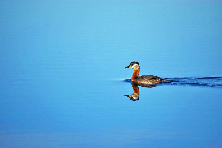 Red-neck Grebe on Great Slave Lake