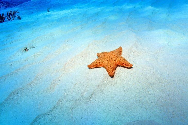 Starfish off Playa El Cielo