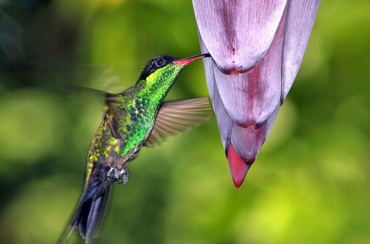 Hummingbird feeding from tropical blooms in Montego Bay