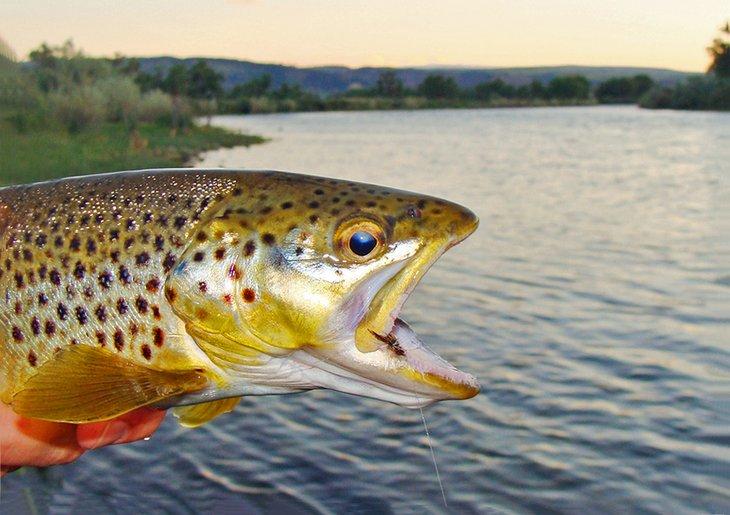 Trucha marrón capturada mientras pesca con mosca en el río Bighorn