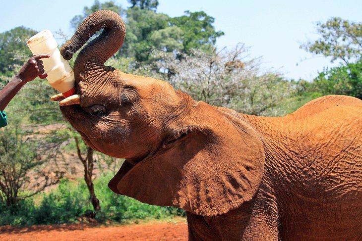 Elephant being fed at the David Sheldrick Wildlife Trust