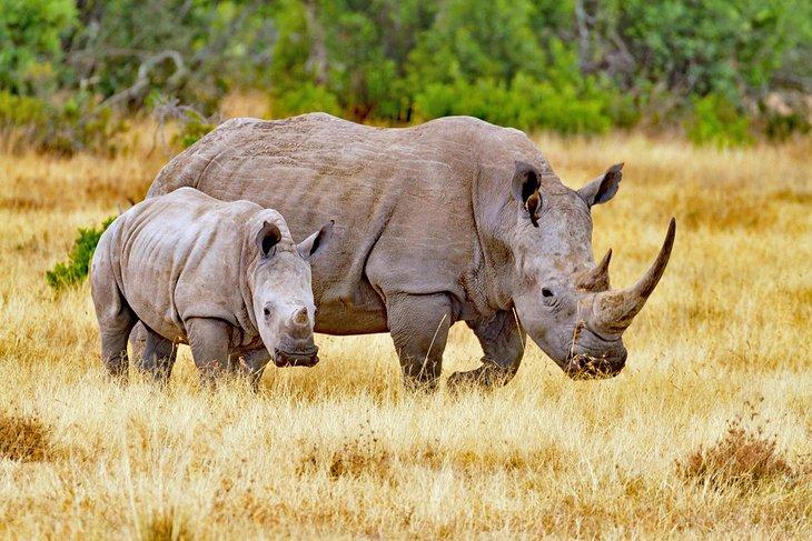 Rhino's at the Old Pejeta Conservancy